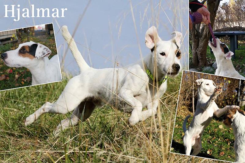Hjalmar parson russell terrier