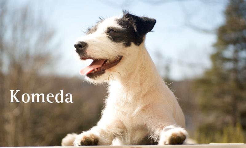 komeda parson russell terrier