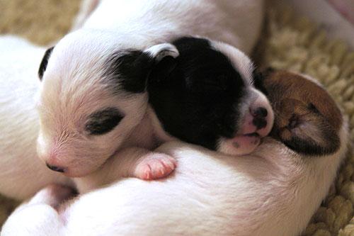 parson russel terrier valpar 2veckor