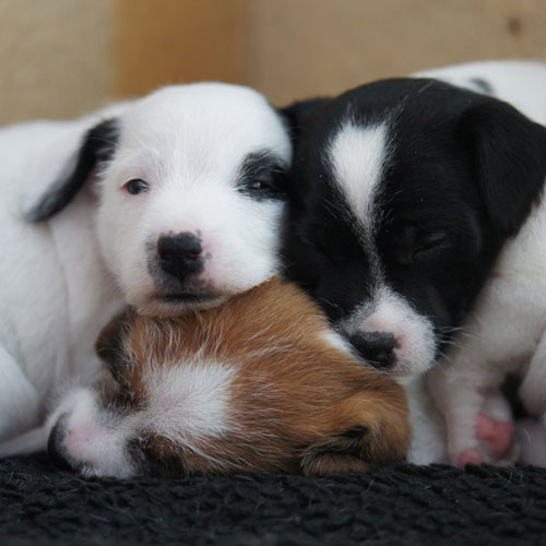 parson russel terrier valpar 5veckor
