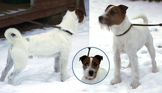 parson russell terrier sixten